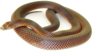 King_Brown_Snake